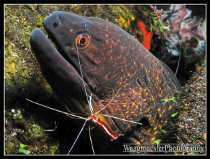 Moray Eel with Cleaner Shrimp, Tulamben, Bali (Canon G9, ... by Marco Waagmeester
